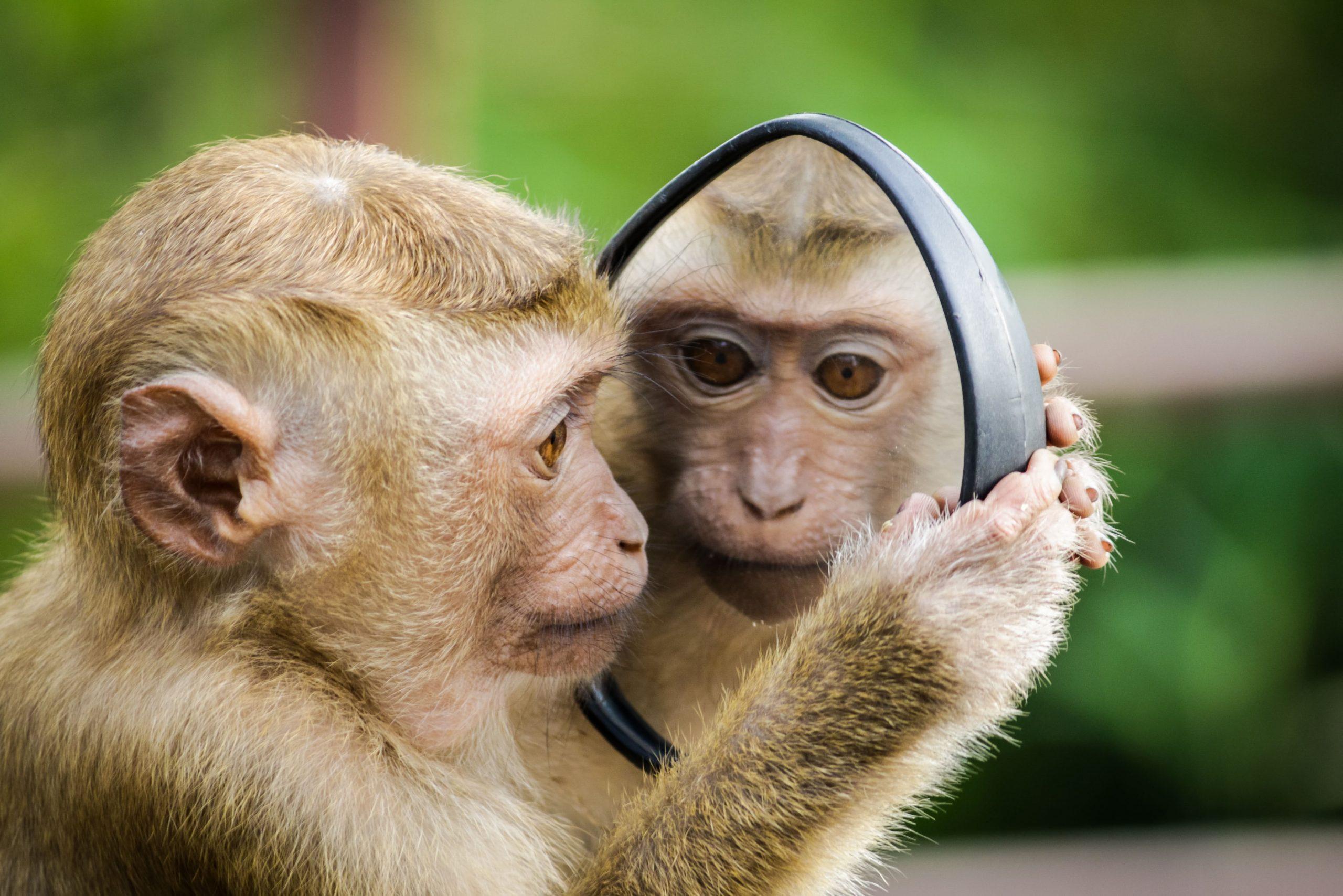 Apa med spegel
