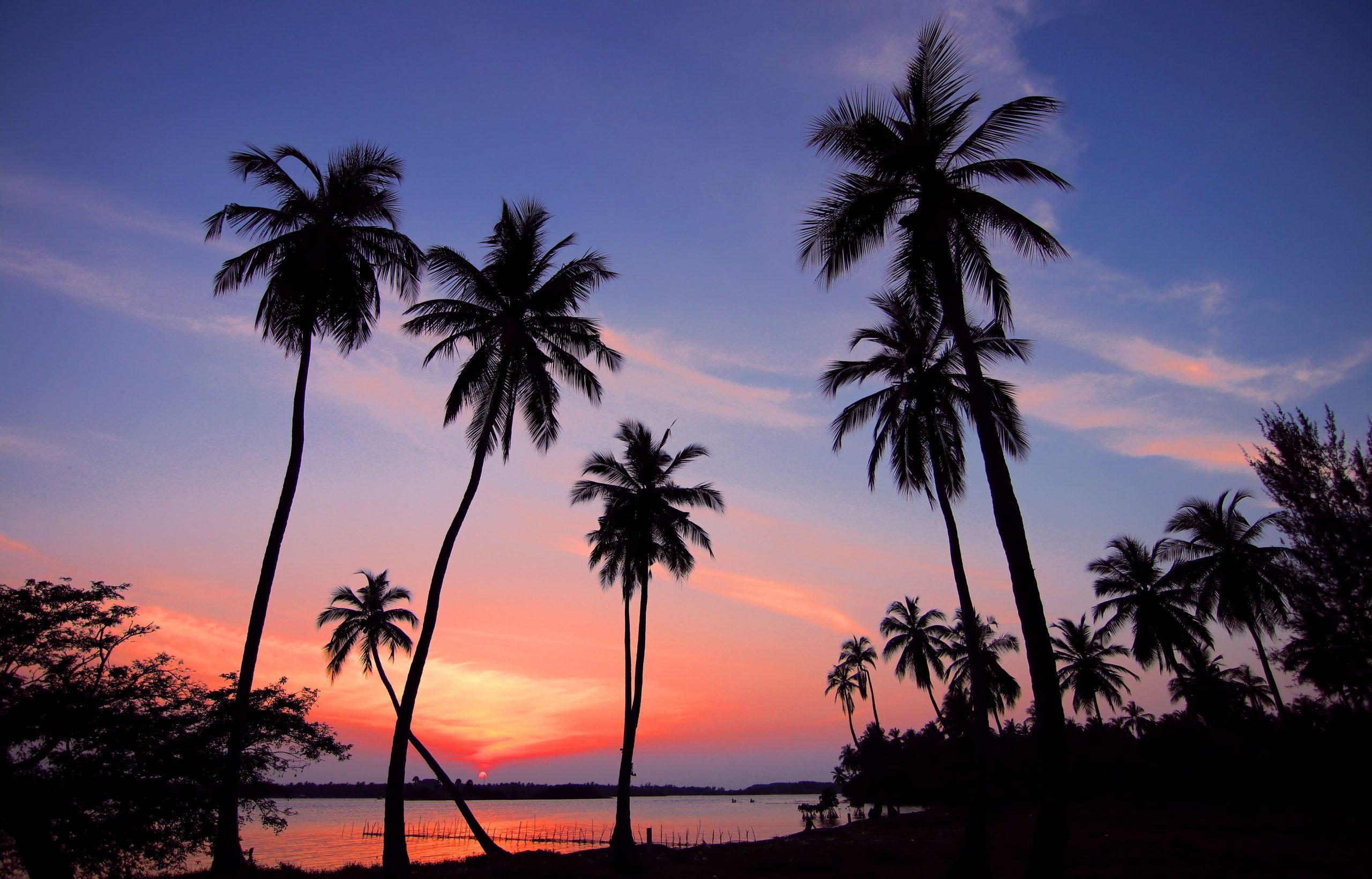 Palmer i solnedgång